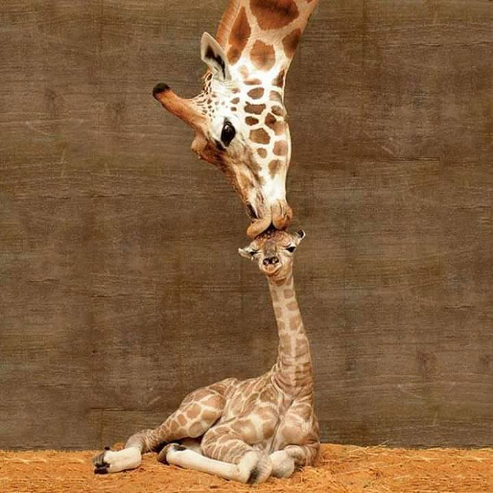 giraffe love misha and baby
